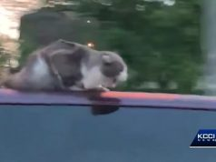 van surfing cat